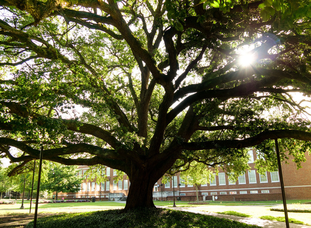 Live oak in the Quad