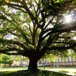 Live oak in the Quad