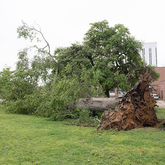 A noble oak tree near Hale Hall uprooted by the tornado.